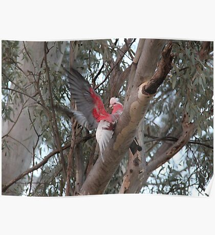 Silly Galah! Poster