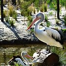 Pelican at Melbourne Zoo Aquatic Centre by Keith Richardson