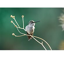 Hummingbird on small branch Photographic Print