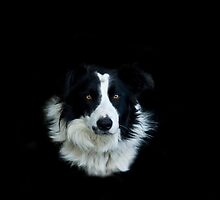 Sheep dog by laurav
