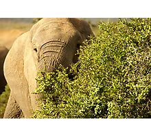Addo Elephant South Africa Photographic Print