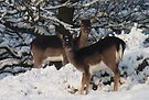 Fallow deer in the snow 9 by DutchLumix