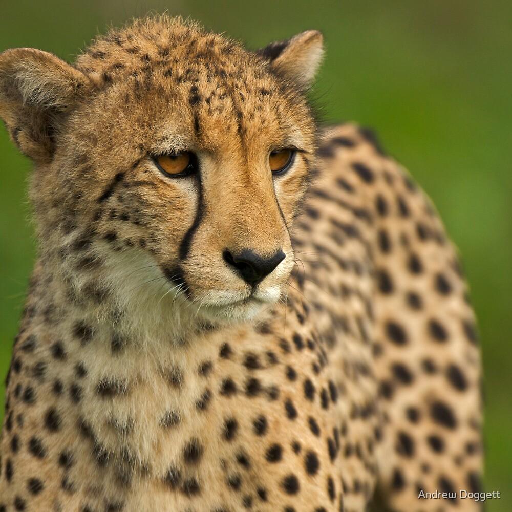 Cheetah by Andrew Doggett