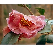 Camellia and ant Photographic Print