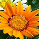 Orange gazania by Maria1606