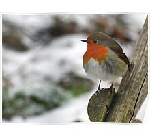 A guest in our garden: Robin Poster