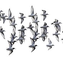Sanderlings and Dunlins in Flight by arcadian7
