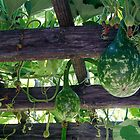 Gourds by mogue