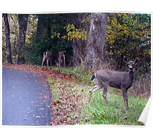Black-Tail Doe  with her Twin Fawns Poster