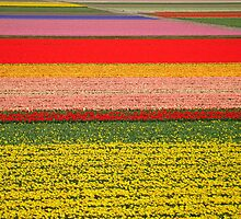 Field of flowers by roumen