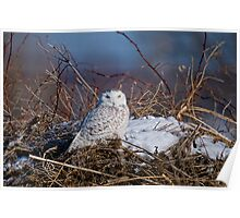 Snowy Owl on Hill Top - Amherst Island, Ontario Poster