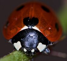 Face of a Ladybird by jskouros