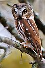 Northern Saw Whet Owl - Amherst Island, Ontario by Michael Cummings