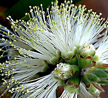 White Bottlebrush by Joy Watson