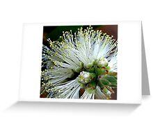 White Bottlebrush Greeting Card