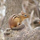 Chipmunk by Dave & Trena Puckett