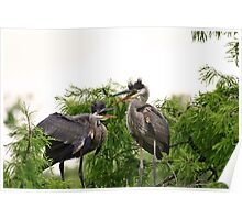 Baby Herons In Nest Poster