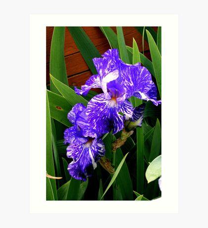Multi-colored Iris Art Print