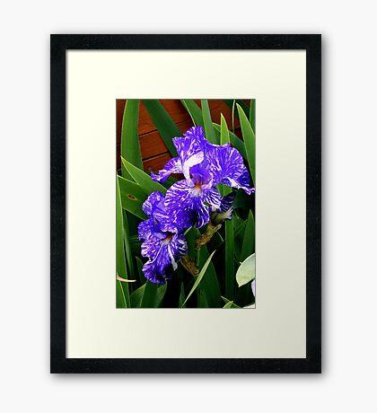 Multi-colored Iris Framed Print