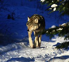 """   Lone Wolf  "" by fortner"