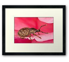 Pinky-beetle Framed Print