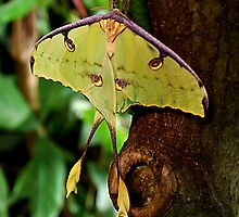 African Moon  Moth  by Judy Grant