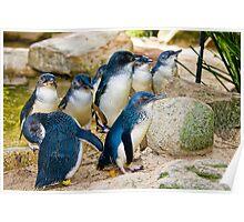 Flock of fairy penguins Poster
