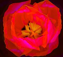 Arose From A Poppy At Plugge's Plateau by Ron Marton