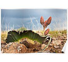 Welwitschia mirabilis Poster