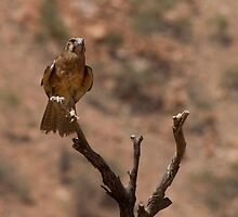Brown Falcon by Coreena Vieth