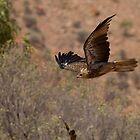 Whistling Kite by Coreena Vieth