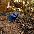 Splendid Fairy Wren by Coreena Vieth