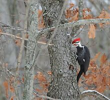 Pileated Woodpecker by amyklein196203