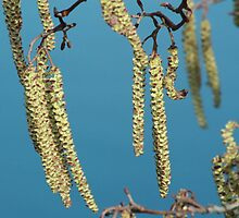 Catkins by Martina Fagan