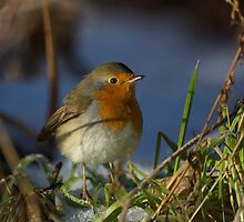Robin in winter by wildlifephoto