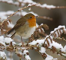 Robin and snow by wildlifephoto