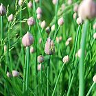 Chive buds by Jeff Stroud
