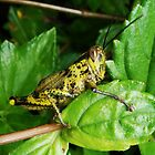 Shy Fat Yellow Locust by streetraven