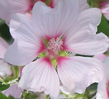 White and Pink Hollyhock by art2plunder