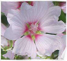 White and Pink Hollyhock Poster