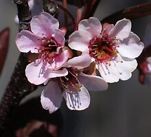 Light Pink Blossoms 1 by art2plunder