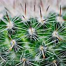 Echinocactus Grusonii Cactus by Nala