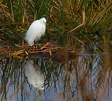 Snowy Egret by Charlie