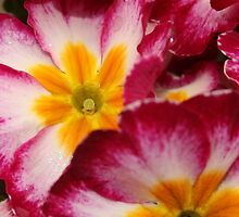 Primrose #2 by Martina Fagan