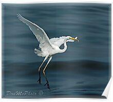 Great Egret (Ardea alba) 15-04 (XII) Poster