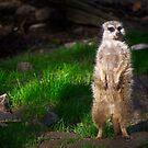 Meerkat by MattGranz