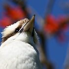 kookaburra by Route64