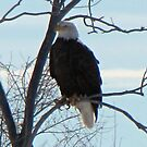 Bald Eagle in a Tree by janetmarston