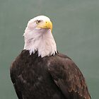 Bald Eagle Profile 02 by janetmarston
