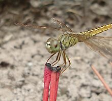 Incensed dragonfly by loz788
